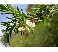 At last! a flower on my new grevillea 'Hills Jubilee' Photographic Print