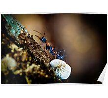 Jumper Ant, Jumping Jack - Myrmecia nigrocincta Poster
