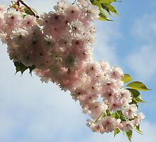 Trees of Trinity College Dublin, Japanese cherry by Aisling Walsh