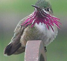 Calliope Hummingbird   by © Betty E Duncan ~ Blue Mountain Blessings Photography