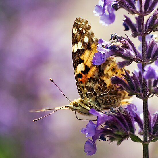 Painted Lady by Steve  Liptrot