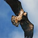 Juvenile Bald Eagle Two by Randall Ingalls