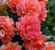 Peachy Rose Faces by Eileen McVey