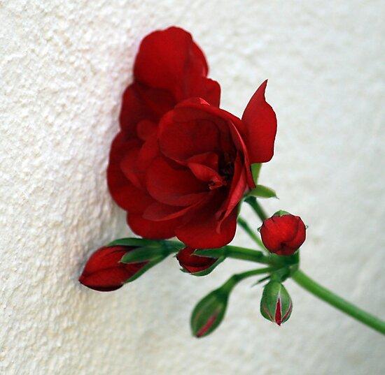 Wallflower / Muurblommetjie by Antionette