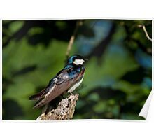 Tree Swallow Sitting Pretty  Poster