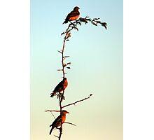Pecking order.. Photographic Print