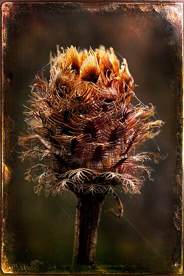 Desiccated Knapweed by chemival