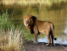 Lion by Elsa Dyason