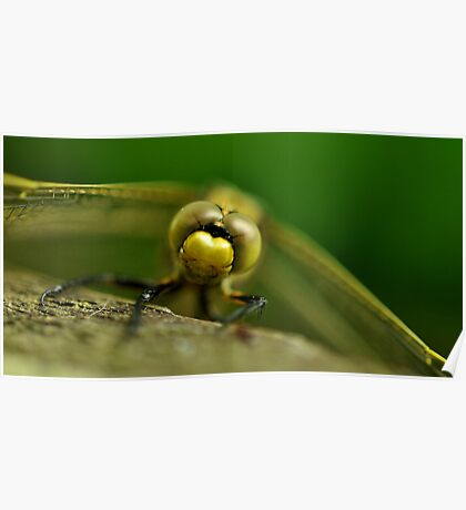 Four-spotted chaser Poster
