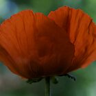 Floral - Poppies ,  light and shade vision. by Brown Sugar . Views (51) Favorited by (2) . Thank you friends ! by © Andrzej Goszcz,M.D. Ph.D