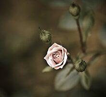 Rose - striving for light I by Ulla Jensen