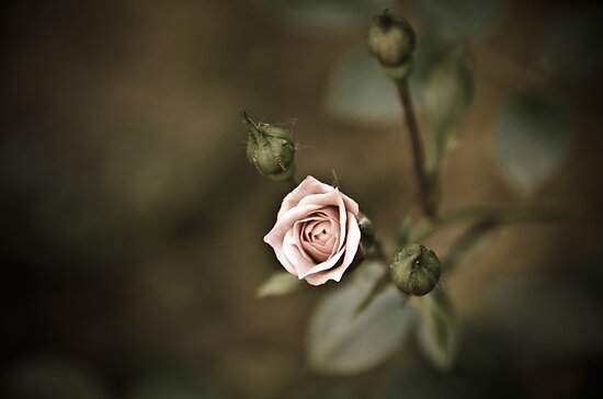 Rose - striving for light I by Ulla Jensen