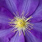Clematis by photosbytony