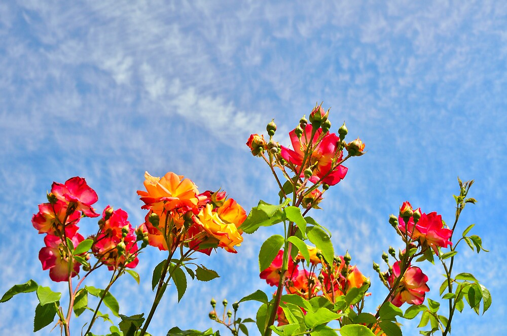 red roses in the sky by Stephen Frost