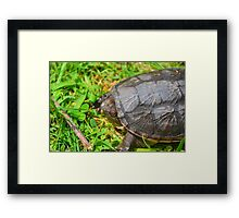 Young Snapping Turtle Framed Print