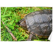 Young Snapping Turtle Poster