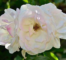White Roses by Steve