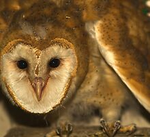 Fledgling Barn Owl by Chris Morrison