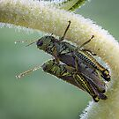 Huddling On A Sunflower - Friendly Grasshoppers by Robert Kelch, M.D.