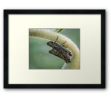 Huddling On A Sunflower - Friendly Grasshoppers Framed Print