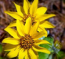 Arrowleaf Balsamroot  by amontanaview