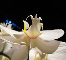 White orchid by Erika Smith