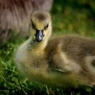 Little Goose by Xcarguy