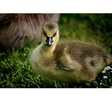 Little Goose Photographic Print