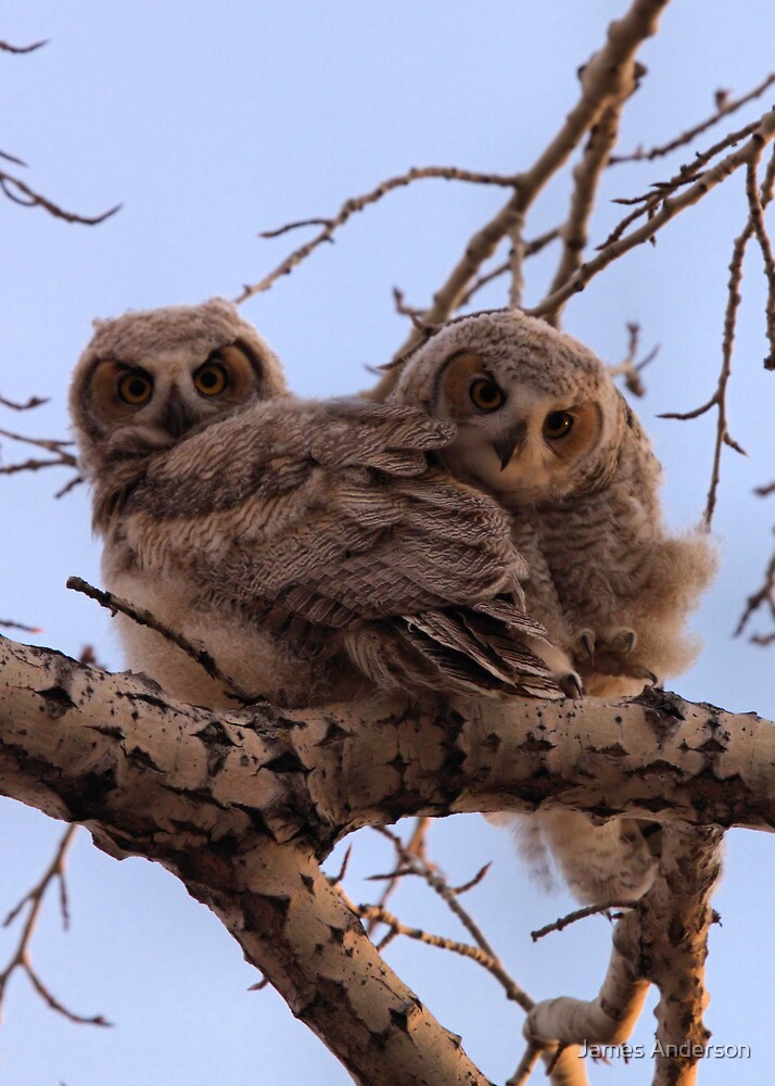 Curious Owlets by JamesA1