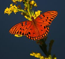 Gulf Fritillary by Tom Dunkerton
