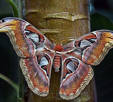 Attacus atlas by Linda Cutche