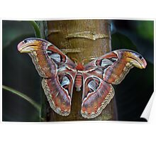 Attacus atlas Poster