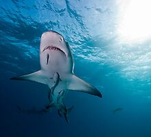 Soaring Lemon shark by Fiona Ayerst