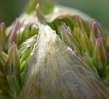 Onion flower at Manito by Kate Farkas