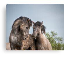 Konik Horses Canvas Print