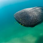 Magnificent whaleshark by Fiona Ayerst