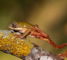 Tiger leg waxy monkey frog by AngiNelson