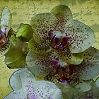 Phaleanopsis by Gilberte