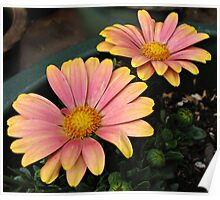 Dancing in the Dark - Flamboyant Cape Daisies Poster