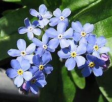 Blue Forget-Me-Nots - Up Close and Personal by BlueMoonRose