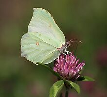 Brimstone Butterfly by Neil Ludford