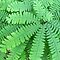 Maidenhair Fern by Jean Gregory  Evans