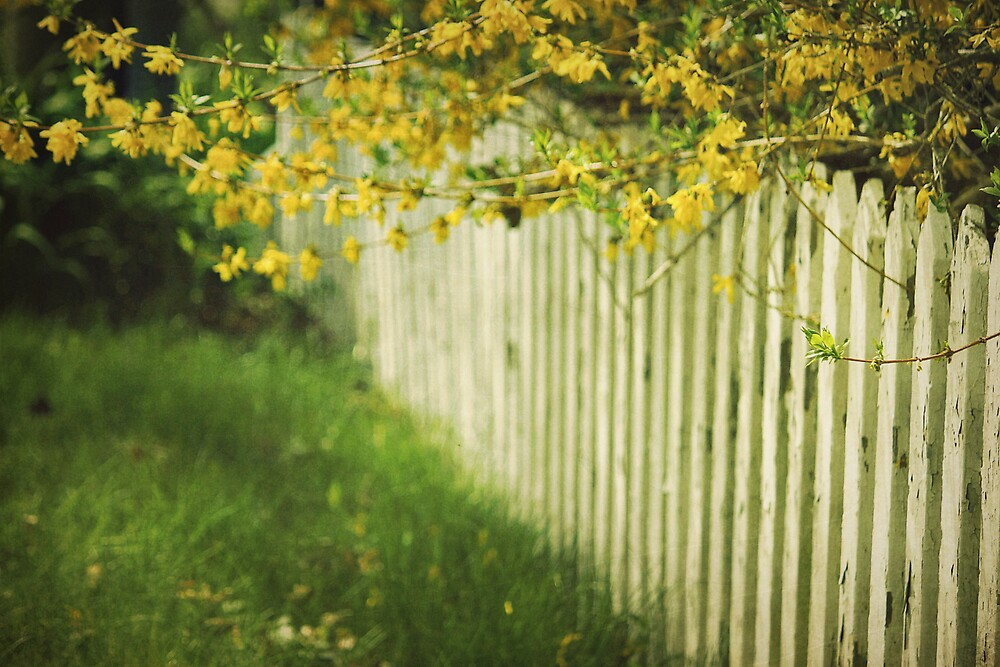 forsythiafence by lucy loomis