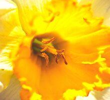 Glowing Daffodil by DesignUnion