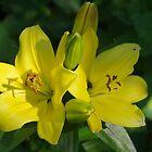 Lily In My Garden by lezvee