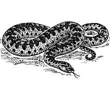 Adder Snake Illustration by goldenmenagerie