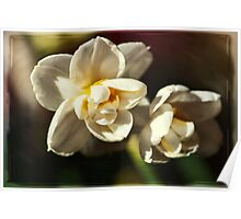 Dwarf Narcissus Poster