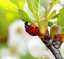 Ladybug by Becky Trudell