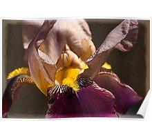 Bearded Iris (1) Poster
