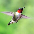 Ruby Throated Humming Bird by Molly  Kinsey